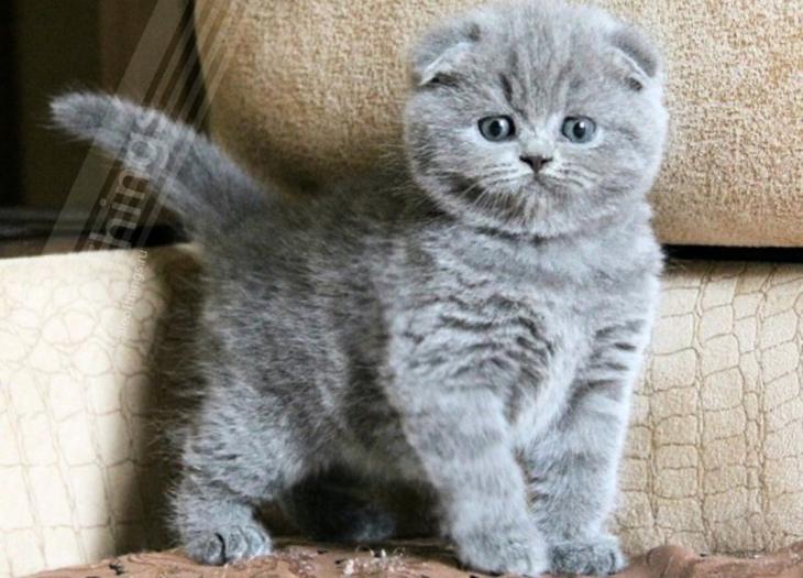 котенок британский вислоухий