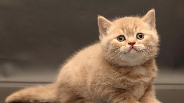 Фото: очень милый британский котенок