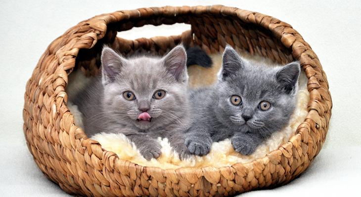 Фото: два котенка британца в корзинке